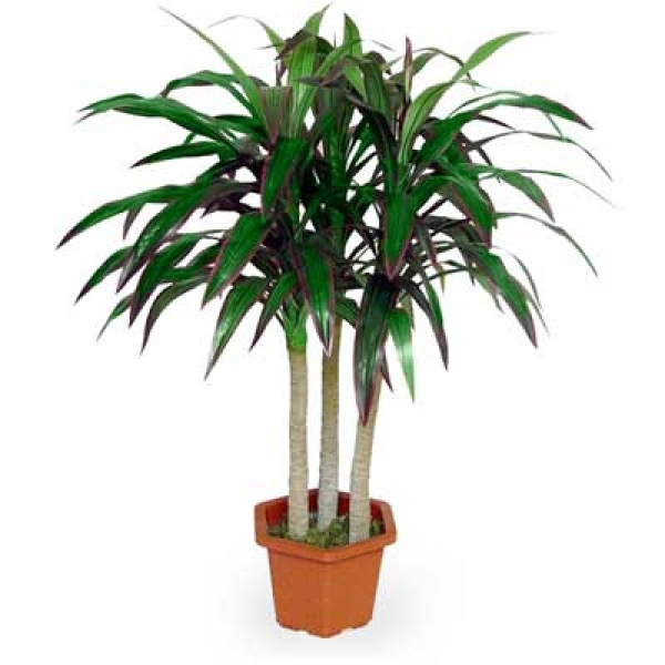 пальма комнатная  и названия